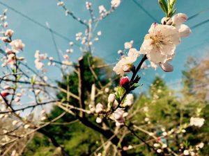 軽井沢の桜とスタッドレスタイヤ
