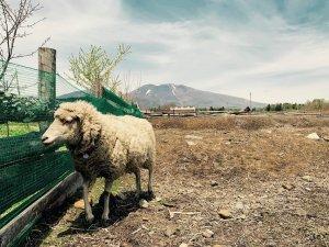 こどもと羊の毛刈り見学